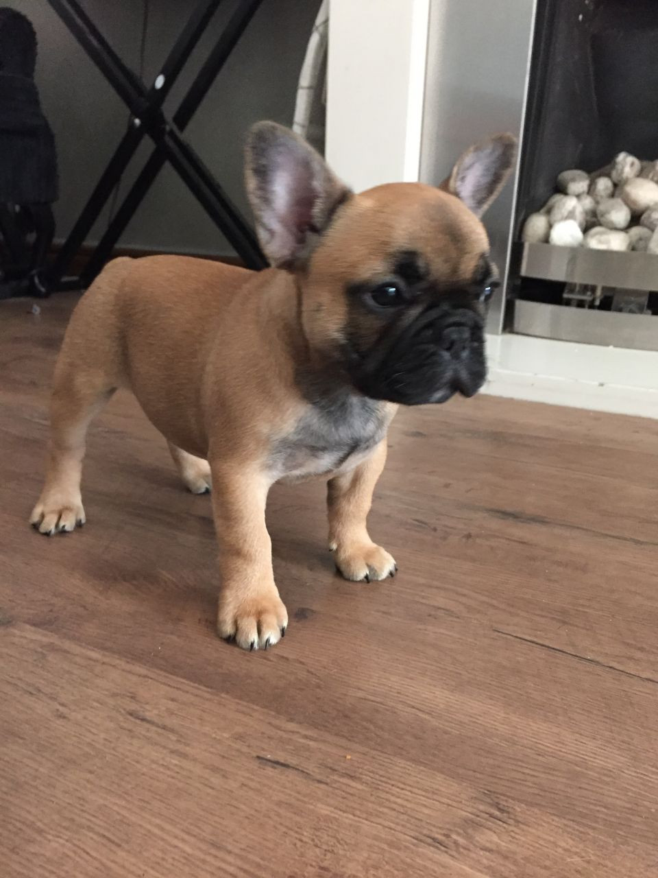French Bulldog Puppies For Sale Ohio Pike Oh 198765