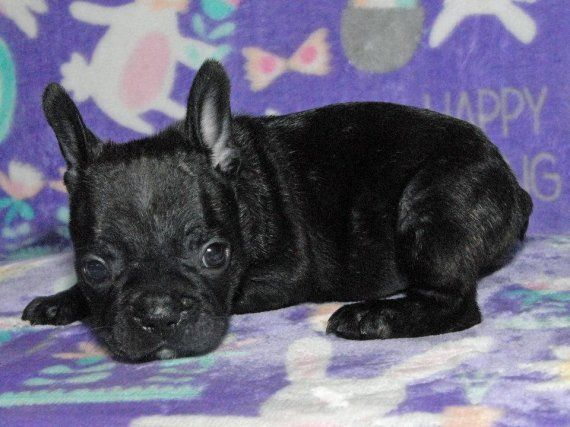 french bulldog utah french bulldog puppies for sale salt lake city ut 199150 1558