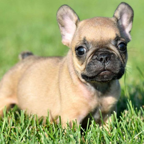 French Bulldog Puppies For Sale | Georgia Dome Drive ...