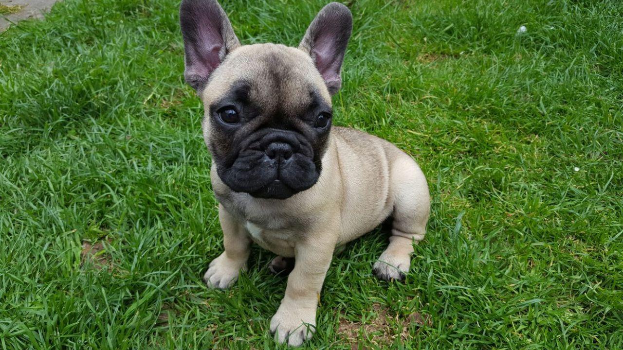 Z Gallerie Bulldog French Bulldog Puppies...