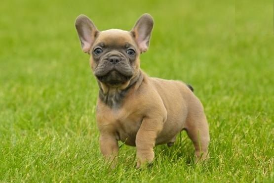 french bulldog utah french bulldog puppies for sale salt lake city ut 202491 1180
