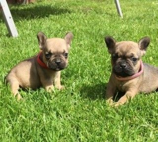 french bulldog dallas tx french bulldog puppies for sale dallas tx 203374 9624