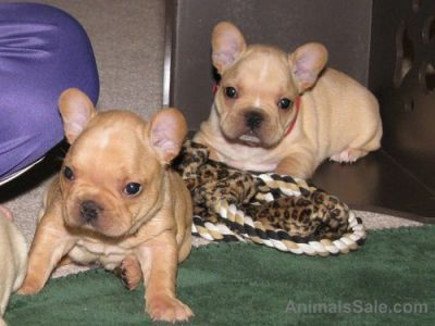 french bulldog pups for sale houston tx french bulldog puppies for sale abilene houston tx 205886 4789