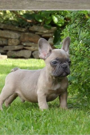 French Bulldog Puppies For Sale Erie Pa 206714