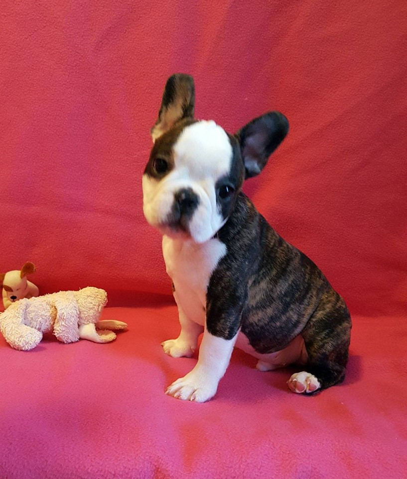 french bulldog puppies for sale ny french bulldog puppies for sale new york ny 208254 6731