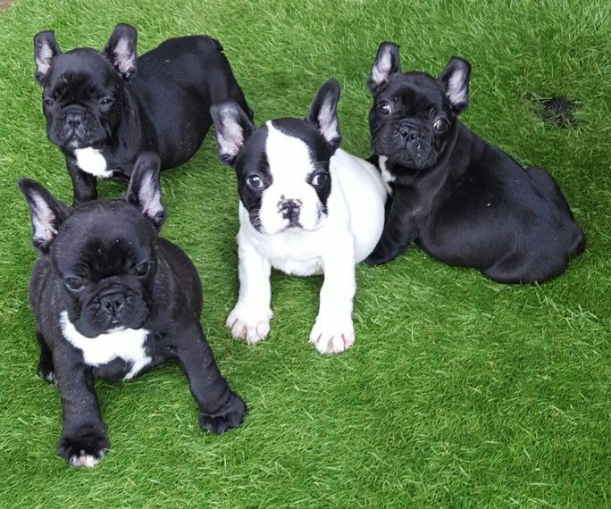 french bulldog for sale in pa french bulldog puppies for sale erie pa 209481 2478