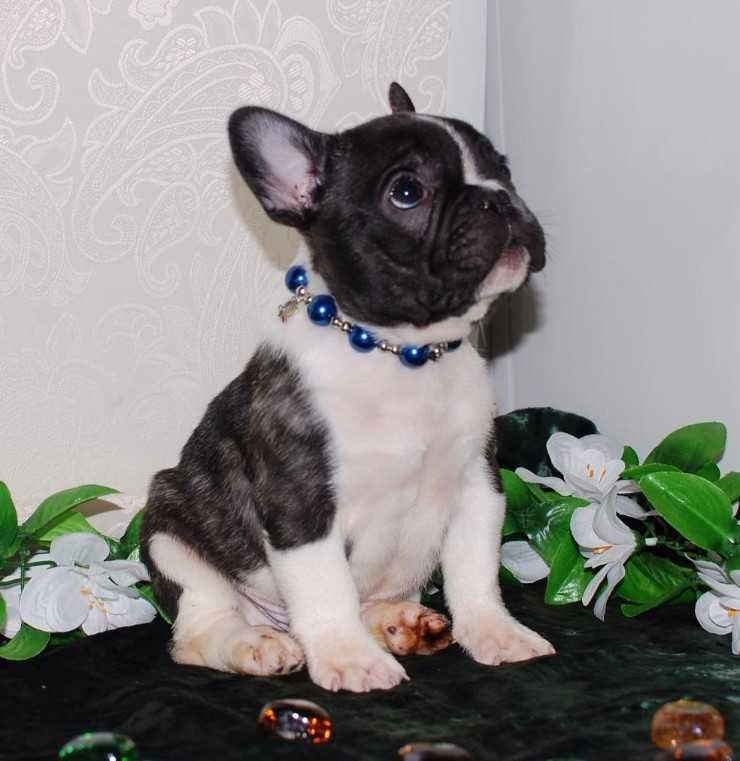 French Bulldog Puppies For Sale Adell Wi 211127