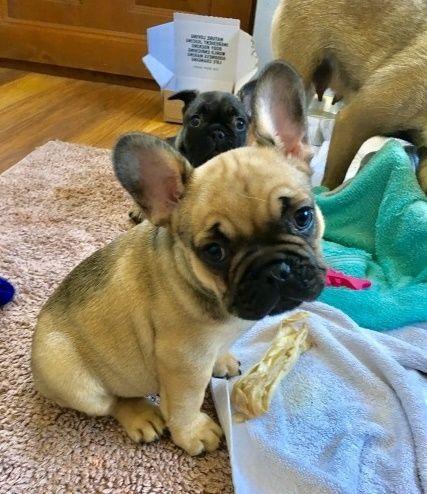 French Bulldog Puppies For Sale El Paso Tx 213390