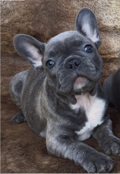 french bulldog puppies for sale ny french bulldog puppies for sale new york ny 213916 1181