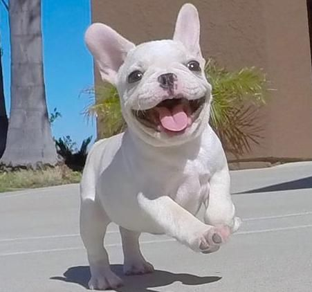 French Bulldog Puppies For Sale Milwaukee Avenue Il 215012