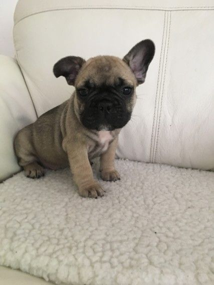 bulldog ne french bulldog puppies for sale omaha ne 219897 1854