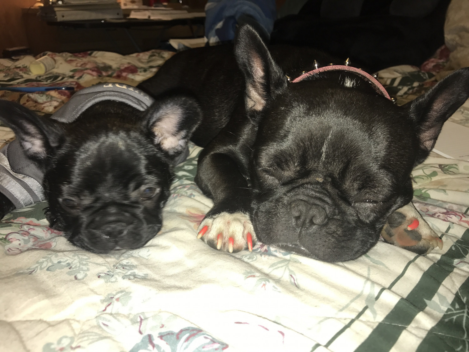 French Bulldog Puppies For Sale Milwaukee Wi 227539