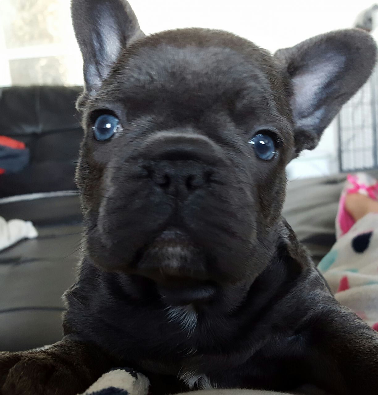 french bulldog puppies for sale ny french bulldog puppies for sale new york ny 227595 9713