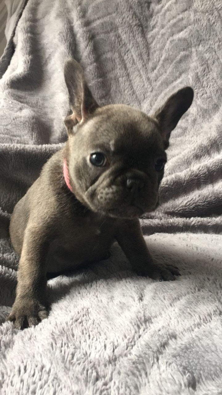 French Bulldog Puppies For Sale   Germany
