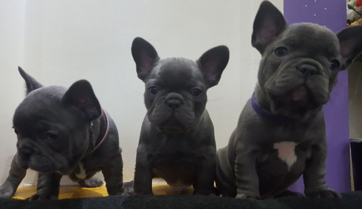 french bulldog puppies for sale ny french bulldog puppies for sale new york ny 229296 2037