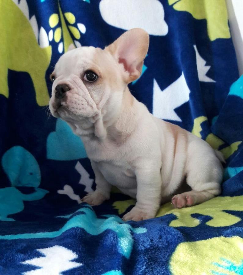 French Bulldog Puppies For Sale Jackson Ms 233663