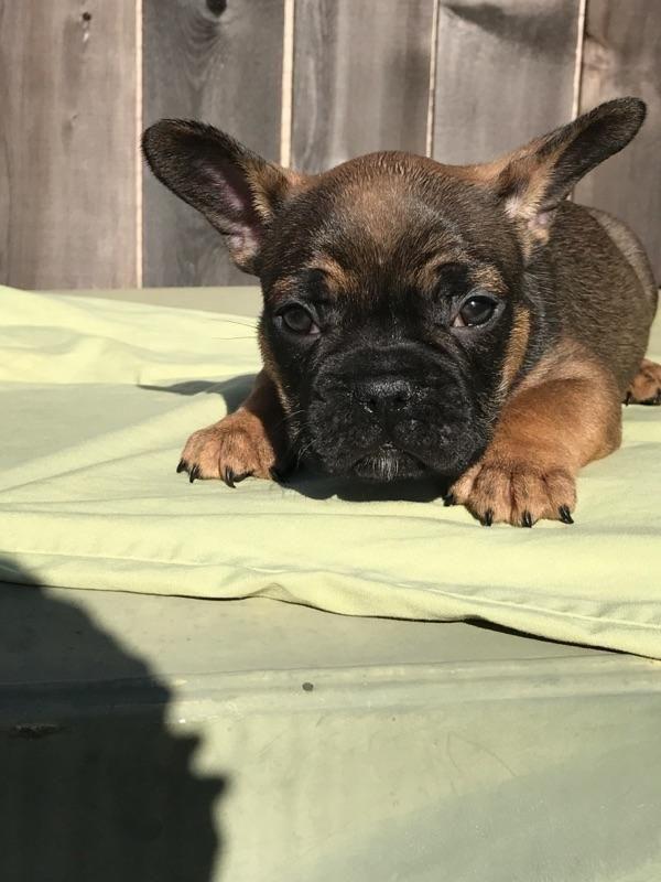 French Bulldog Puppies For Sale Richmond Tx 236647