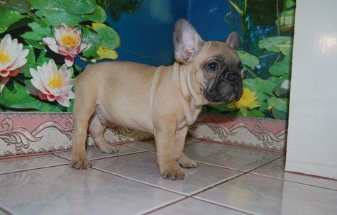 French Bulldog Puppies For Sale | Detroit, MI #238544