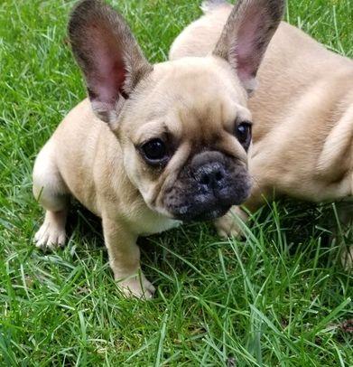 Z Gallerie Bulldog French Bulldog For Sal...