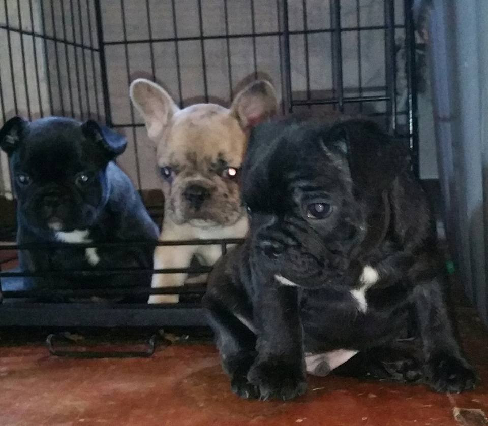 french bulldog pups for sale houston tx french bulldog puppies for sale houston tx 246467 1402