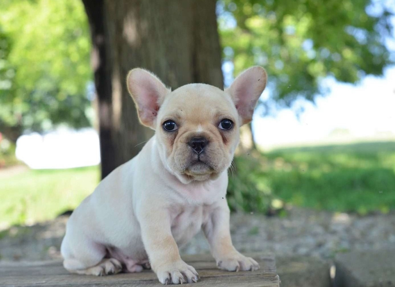 french bulldog pcci papers for sale French bulldog for sale american bulldog cachedsimilar pcci papers pups for have french bulldog has pups for sale from european dog.