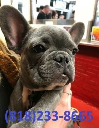 french bulldog utah french bulldog for sale in utah petzlover 4304