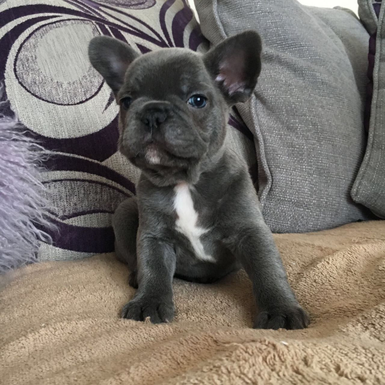 french bulldog for sale in pa french bulldog puppies for sale pennsylvania nj 254710 1766