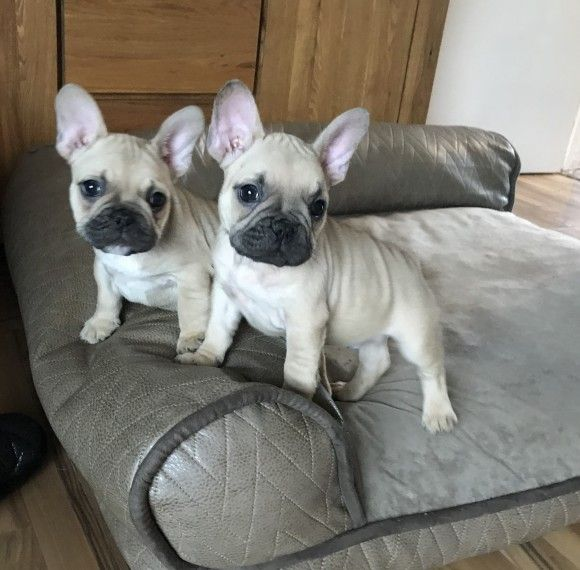 french bulldog breeders texas french bulldog for sale in texas city petzlover 9051