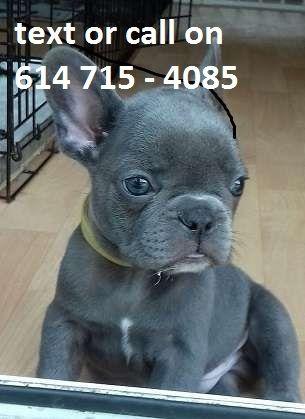 French Bulldog Puppies For Sale Boston Ma 256999