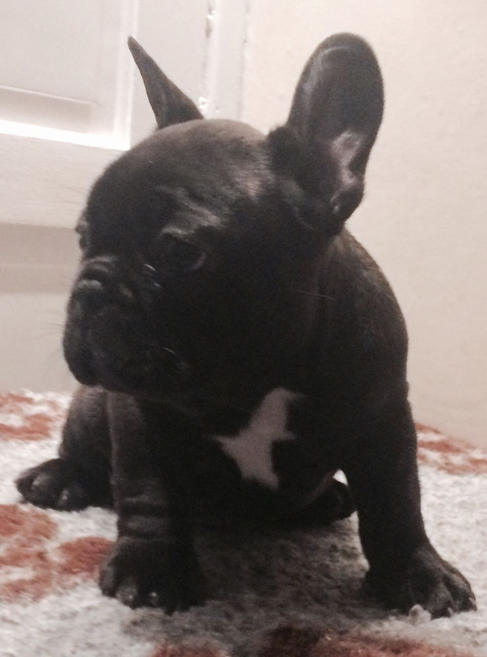french bulldog for sale in pa french bulldog puppies for sale penn avenue pa 257738 4384