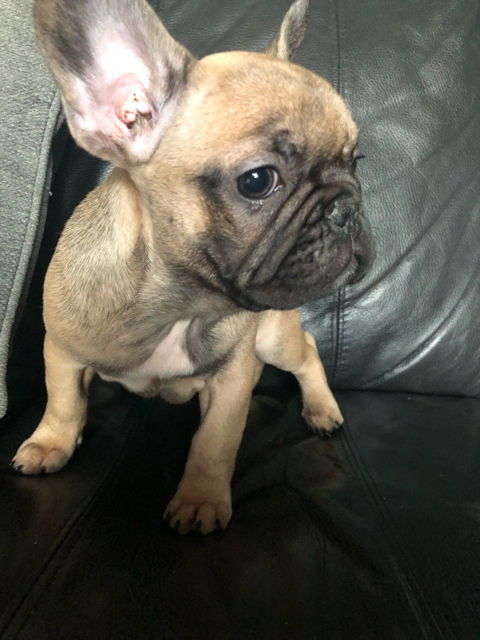 french bulldog for sale in pa french bulldog puppies for sale philadelphia pa 258507 5233