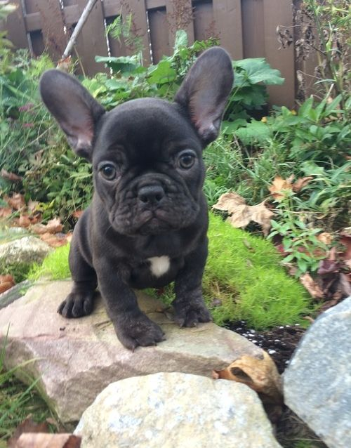 french bulldog puppies for sale in ms french bulldog puppies for sale michigan city ms 259181 3661
