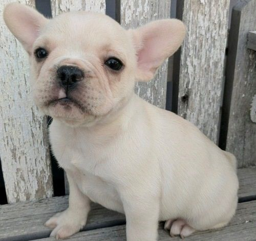 bulldog puppy nj french bulldog puppies for sale jersey city nj 259252 8192