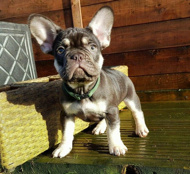 french bulldog rescue seattle french bulldog puppies for sale seattle wa 261151 3951