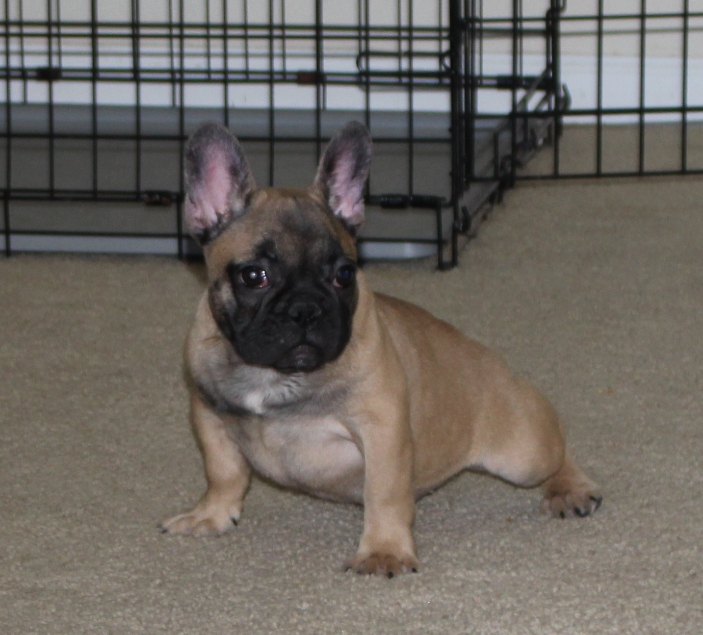 french bulldog for sale in pa french bulldog puppies for sale bethlehem pa 264119 7926