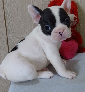 French Bulldog Puppies For Sale Pewaukee Wi 264217