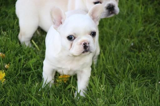 French Bulldog Puppies For Sale Cleveland Oh 265876