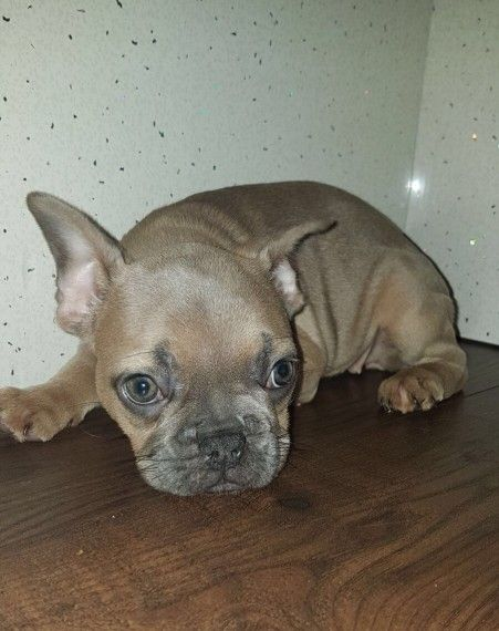 french bulldog puppies charlotte nc perros french bulldog puppies for sale charlotte nc 268420 9804