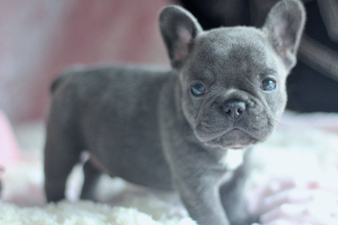 French Bulldog Puppies For Sale In Hungary | AgriSeek.com