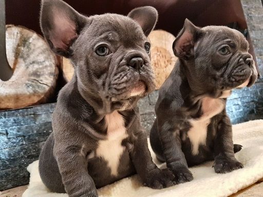 french bulldog puppies for sale in wisconsin french bulldog puppies for sale madison wi 272788 5173