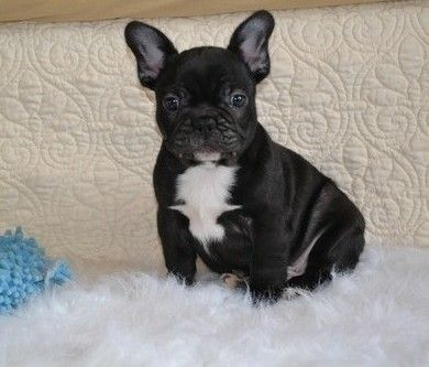 french bulldog for sale mn french bulldog puppies for sale minneapolis mn 275039 4256