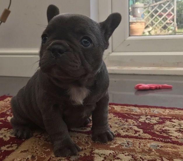 French Bulldog Puppies For Sale | Honolulu, HI #278097