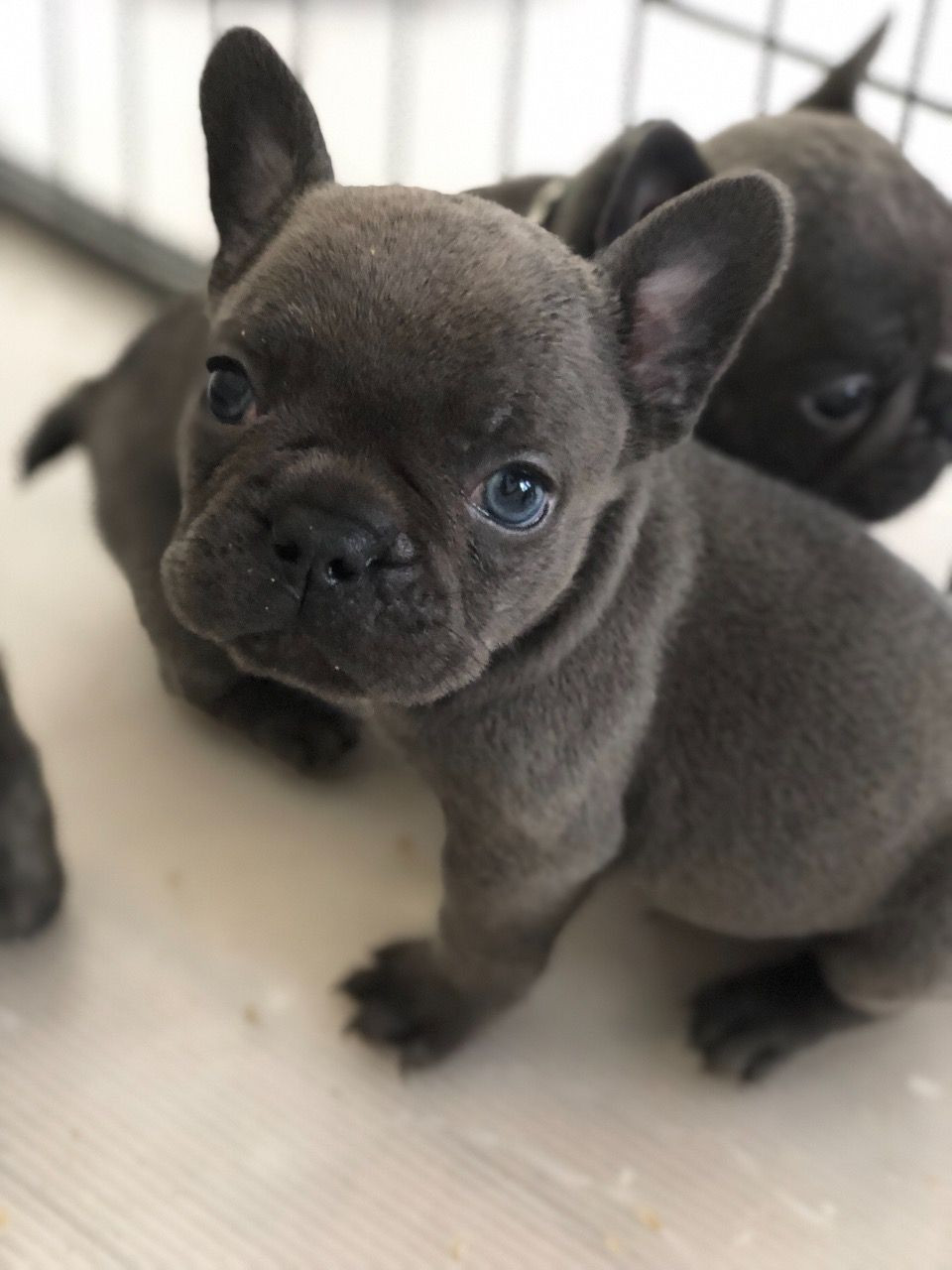 French Bulldog Puppies For Sale | Charleston, SC #279428