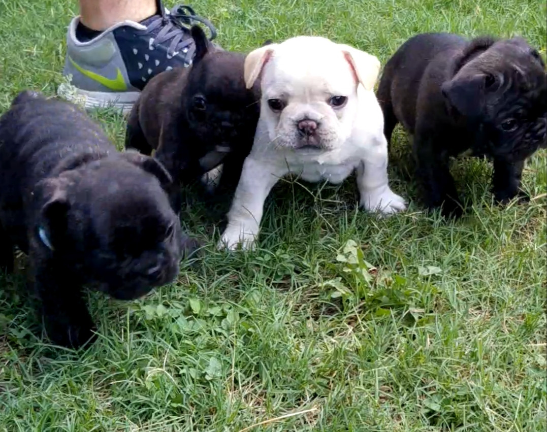 French Bulldog Puppies For Sale Southwest Freeway Houston