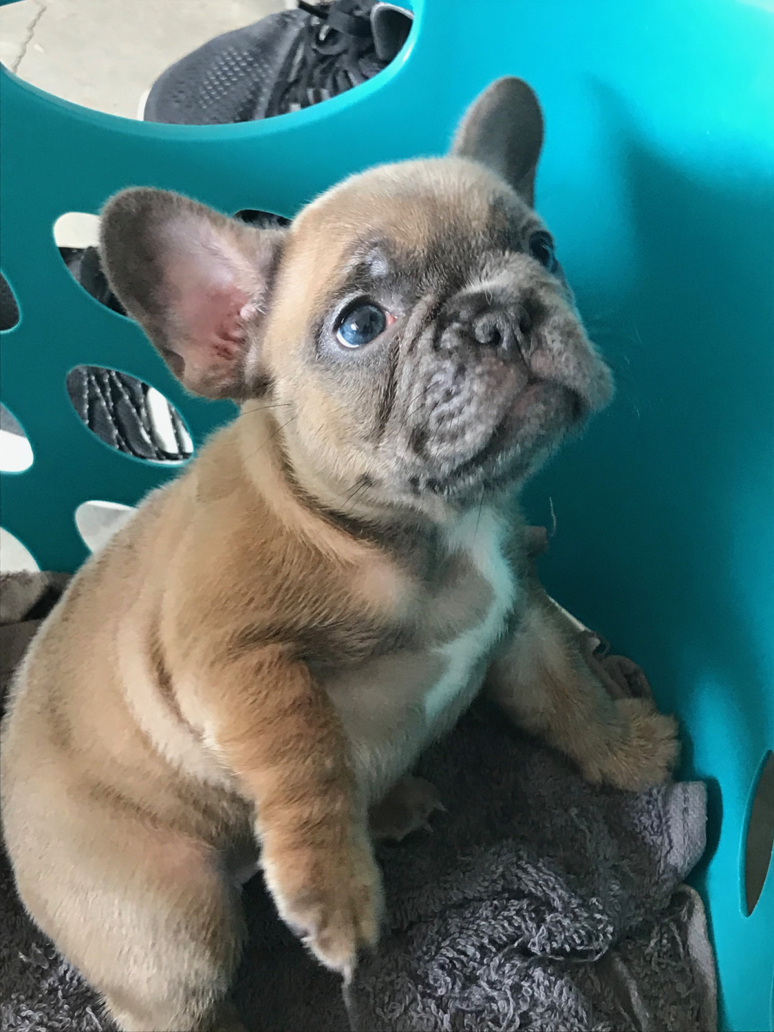 French Bulldog Puppies For Sale Near El Paso Tx 79934 Within 50 Miles