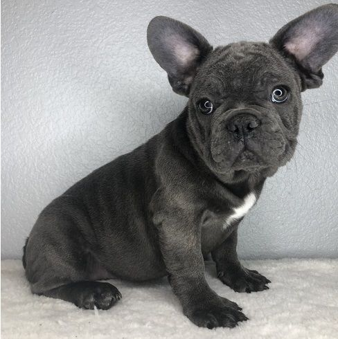 french bulldog massachusetts french bulldog puppies for sale worcester ma 284762 3085