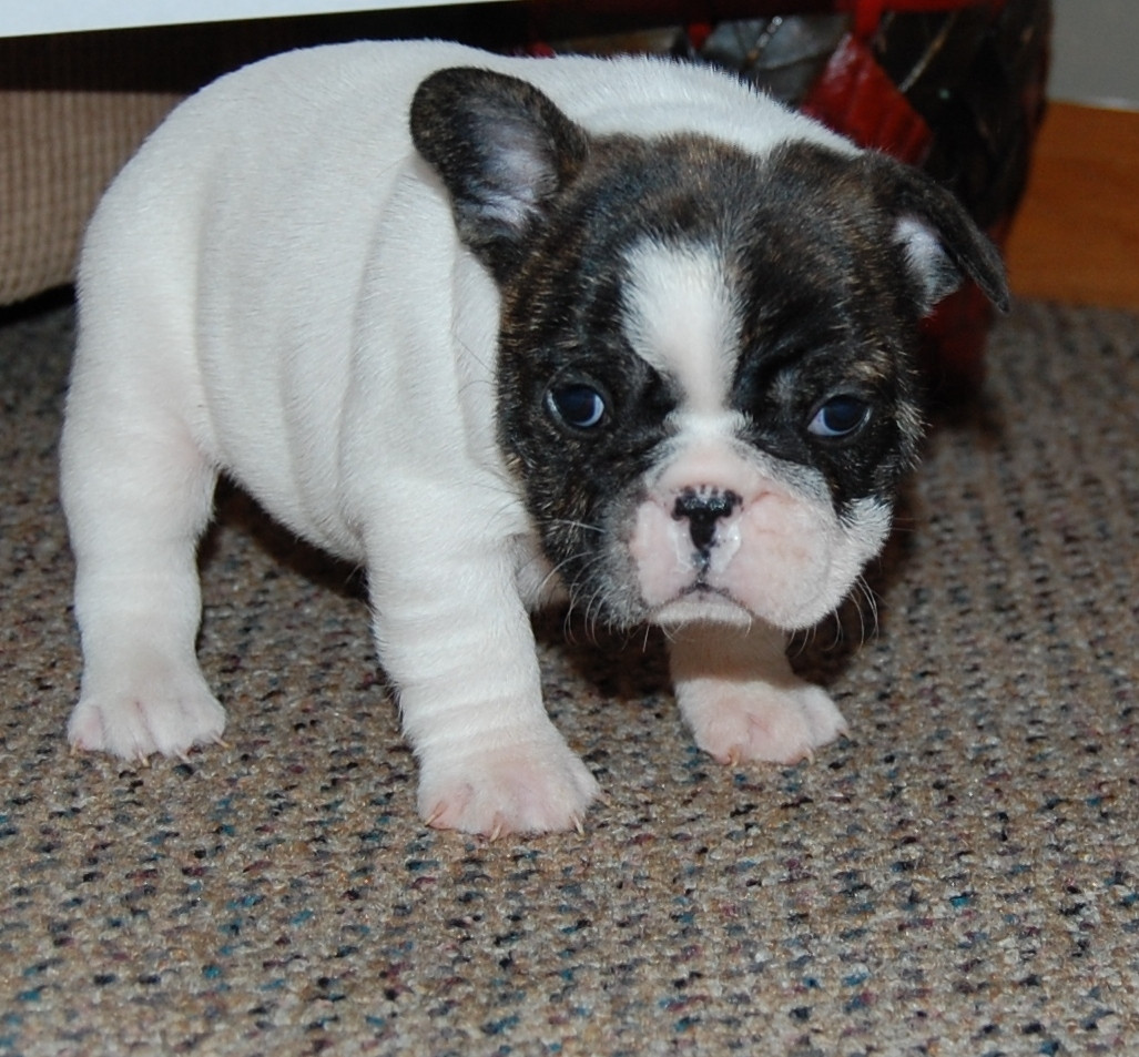 french bulldog for sale mn french bulldog puppies for sale minneapolis mn 284776 1660