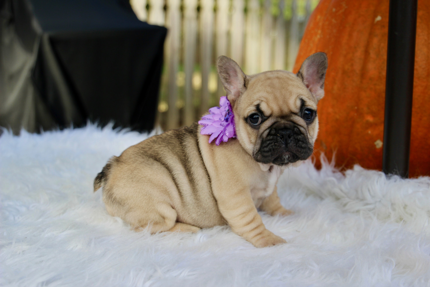 french bulldog puppies nc french bulldog puppies for sale winston salem nc 285280 1360