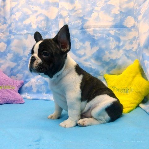 french bulldog dallas tx french bulldog puppies for sale dallas tx 285941 2763