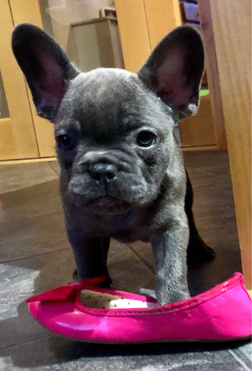 French Bulldog Puppies For Sale | Brooklyn, NY #286164